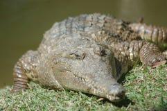 淡水鳄鱼 库存图片
