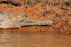 淡水鳄鱼 免版税库存照片