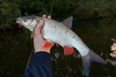 淡水鳔形鱼在渔夫的手上 图库摄影