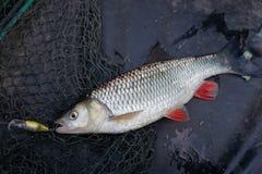 淡水鳔形鱼风行塑料诱剂 免版税库存图片