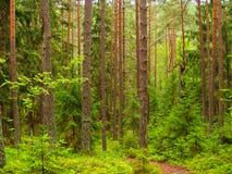 深冷杉森林横向杉木 免版税库存照片