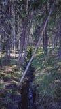 深刻的老杉树森林背景 库存图片