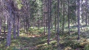 深刻的老杉树森林背景 图库摄影