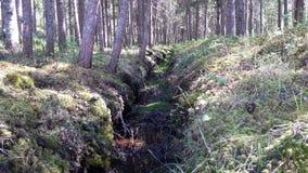 深刻的老杉树森林背景 免版税库存照片