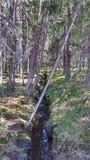 深刻的老杉树森林背景 免版税图库摄影
