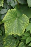 深度域浅葡萄的叶子 库存图片