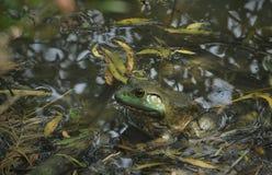 深度注视眼睛域重点青蛙红色反映浅结构树水 库存照片