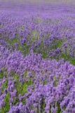 深度浅域的淡紫色 免版税库存图片