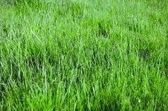 深度露水领域草狭窄 美好的天然泉被弄脏的背景 在草的早晨 免版税库存图片