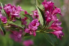 深桃红色的夹竹桃分支开花与绿色叶子 免版税库存图片