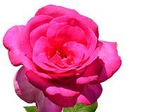 深桃红色的装饰玫瑰色夫人Like,在白色背景的Tantau演变的花1989年 免版税库存图片