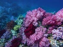 深海和珊瑚礁,五颜六色的珊瑚在海洋环境美化 图库摄影
