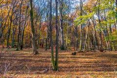 深深在五颜六色的秋天森林里在11月,布拉索夫,斯洛伐克 免版税库存照片