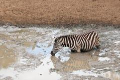 深深斑马在泥 库存照片
