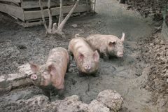 深深猪在泥 库存照片