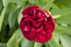 深紫红色开花中介子红色 图库摄影