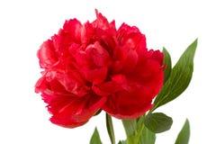 深紫红色花牡丹 库存图片
