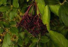 深紫色的莓果和充满活力的绿色叶子 免版税库存图片