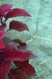 深红叶子 库存图片