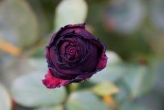 深红在与叶子的一个词根上升了在庭院里 免版税库存照片
