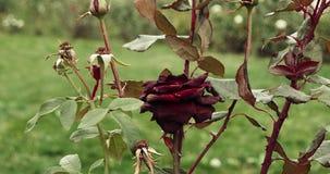 死深红在庭院,选择聚焦,葡萄酒颜色,死的植物里在秋天,哀伤的秋天心情上升了 股票录像