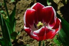 深红对在充分的开花的紫罗兰色郁金香花杂种有白色瓣概述的 免版税库存照片
