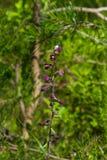深红或皇家火烧兰,耐寒兰atrorubens,在狂放的兰花开花与花螃蟹蜘蛛特写镜头 免版税库存照片