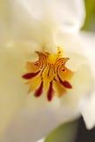深红样式的宏指令在一朵白色蝴蝶花兰花的 库存照片