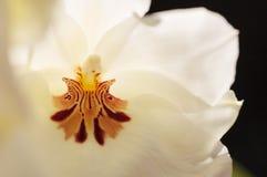 深红样式的宏指令在一朵白色蝴蝶花兰花的 库存图片