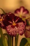 深红样式的宏指令在一朵白色蝴蝶花兰花的 免版税库存图片