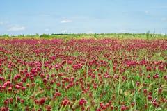 深红色三叶草领域 免版税库存图片