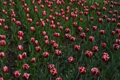 深红郁金香的领域 图库摄影