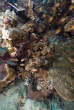 深红鱼在红海的热带水域中。 免版税库存照片