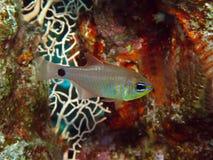 深红鱼 库存照片