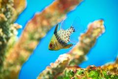 深红鱼 图库摄影
