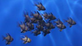 深红鱼nemanoptera睡衣sphaeramia 免版税库存图片