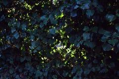 深绿叶子墙壁在铁丝网的 库存照片
