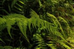 深绿叶子 图库摄影