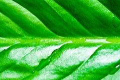 深绿新鲜的满地露水的叶子 免版税图库摄影