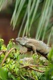 深绿色鬣鳞蜥雨 免版税图库摄影
