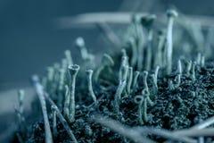 深蓝地衣和青苔特写镜头在下落的杉木针在秋天森林真菌生态系 自然深蓝植物群 免版税库存照片