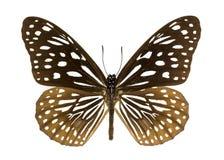 深蓝老虎蝴蝶丹尼亚斯hamata的图象 库存照片