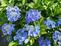 深蓝色开花的霍滕西亚灌木 库存照片