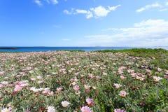 深蓝色海和美丽的花在开普敦 免版税库存照片