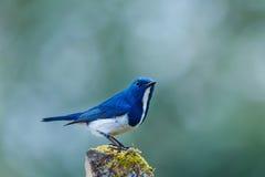 深蓝色的捕蝇器,鸟 免版税库存照片