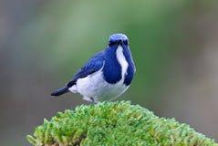 深蓝色的泰国的捕蝇器Ficedula superciliaris逗人喜爱的公鸟 免版税库存图片