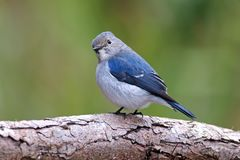 深蓝色的泰国的捕蝇器Ficedula superciliaris逗人喜爱的少年公鸟 免版税库存照片