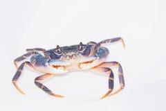 深蓝螃蟹 库存照片