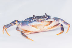 深蓝螃蟹 库存图片