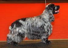 深蓝软羊皮的猎犬 免版税图库摄影